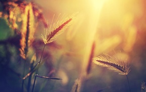 wheat, sunlight, nature, blurred, bokeh