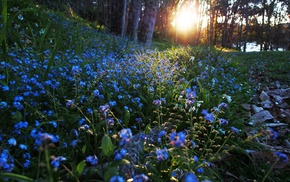 nature, blue flowers, flowers, sunlight, forget, me