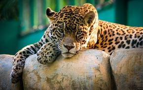 leopard, nature, animals, wildlife