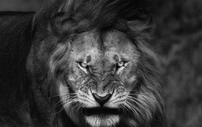 Fury, angry, nature, king, lion, big cats