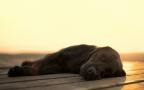 Labrador Retriever, animals, dog, blurred, sleeping, wooden surface