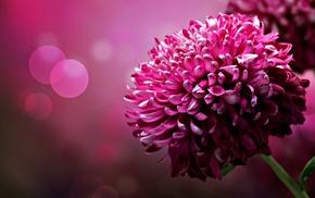 macro, pink flowers, flowers, bokeh
