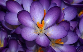 flowers, purple flowers, crocuses