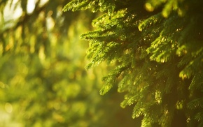 photography, depth of field, spruce, nature, sunlight, blurred