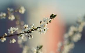 flowers, macro, white flowers