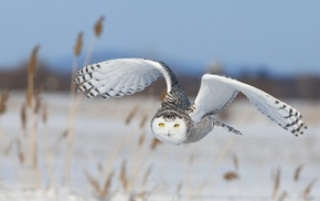 nature, landscape, owl, yellow eyes, depth of field, flying