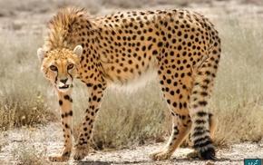 Iran, persian, cheetahs