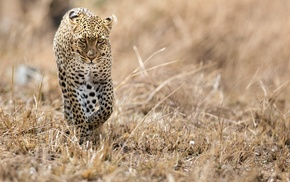 leopard, animals, wildlife