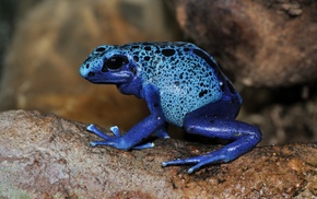 poison dart frogs, frog, nature, amphibian, animals