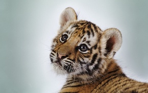baby animals, simple background, tiger, animals, cat, wild cat