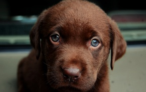 Labrador Retriever, puppies, animals, dog
