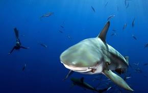 divers, shark, fish, underwater, sea