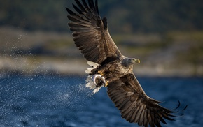 eagle, bird of prey, fish, animals, birds