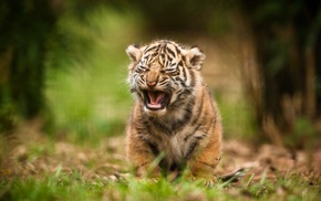 tiger, baby animals, animals