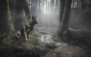 forest, moss, dog, animals, German Shepherd