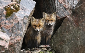 animals, baby animals, rock, fox