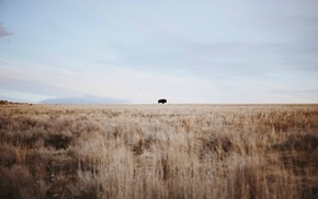 buffalo, sky, wheat