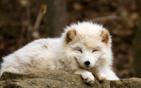 animals, nature, baby animals, arctic fox, fox