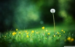 plants, dandelion