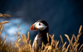 closeup, blurred, birds, nature, animals, puffins