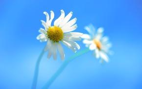 nature, macro, white flowers, flowers
