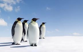 penguins, animals, snow