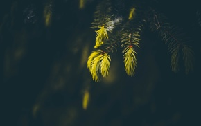 sunlight, photography, spruce, blurred, nature, macro