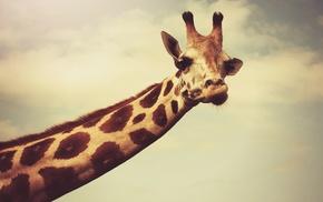 giraffes, necks, photography, horns, face, wildlife