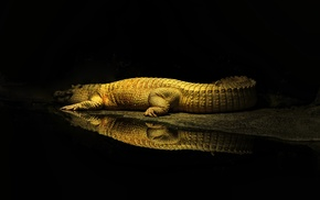 sun rays, wildlife, rest, crocodiles, water, reptile