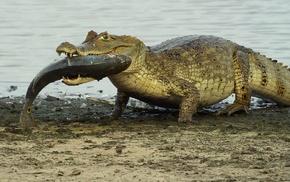 fish, crocodiles, reptile