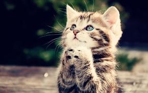 kittens, animals, cat