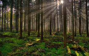 plants, sun rays, Sun, trees, forest, moss