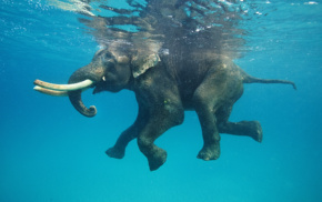 water, animals, nature, elephants, swimming, underwater
