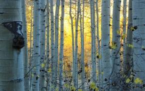 leaves, sunlight, Sun, USA, nature, birch