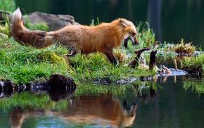 reflection, grass, fox, nature, wildlife, water