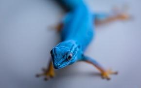 animals, gecko, reptile