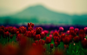 plants, flowers, red flowers, tulips, depth of field