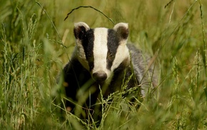 wildlife, animals, badger, spikelets, nature, grass