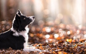depth of field, dog, fall, leaves, nature, animals