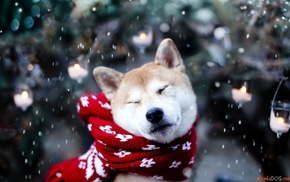 Shiba Inu, animals, dog, snow