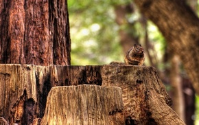 forest, nature, trees, squirrel, animals, wood