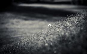 nature, grass, dandelion, depth of field, monochrome, macro