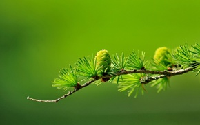 blurred, macro, conifer, photography, cones, green