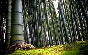 nature, trees, bamboo, forest