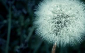 macro, dandelion, flowers