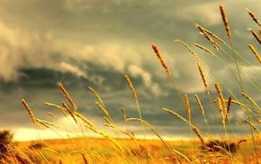 nature, grass, macro, clouds, field, spikelets