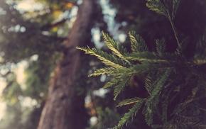 conifer, macro