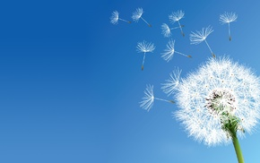 clear sky, nature, flowers, dandelion