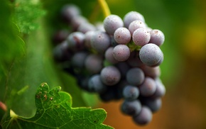 grapes, macro, water drops, leaves, fruit, nature