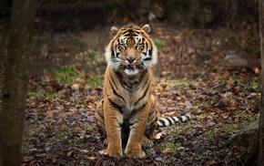 depth of field, tiger, animals, nature